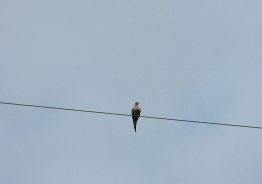 pigeon on a wire