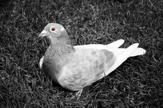 pigeon on the grass