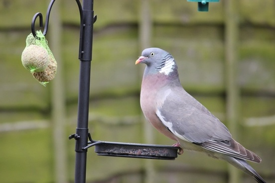 pigeon stealing from bird feeder