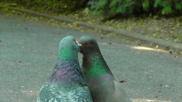 pigeons birds bird pigeon