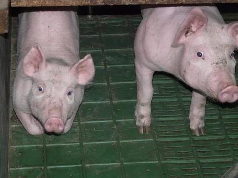 piglet pig young