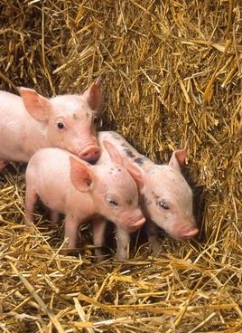 pigs piglets babies