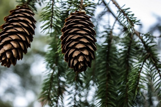 pine cones in yellow river state forest iowa