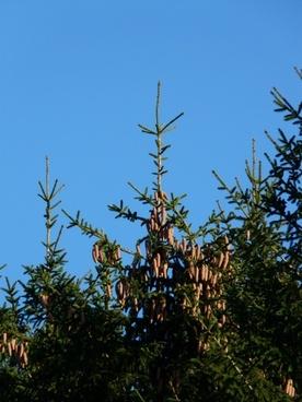 pine cones tap tree