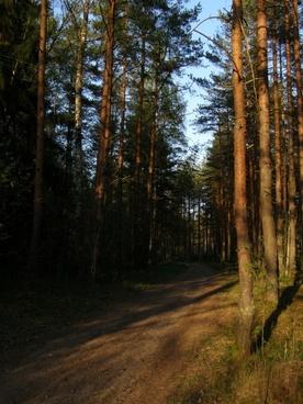 pine forest sun