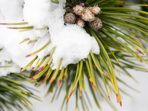 pine leaves covered in snow 2