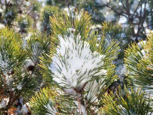 pine leaves covered in snow