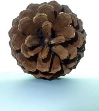 pine tap pine cones
