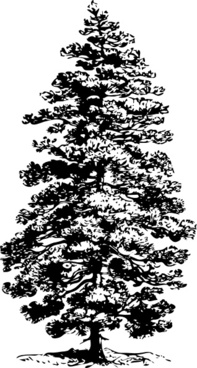 Pine tree realistic. Black and white clip
