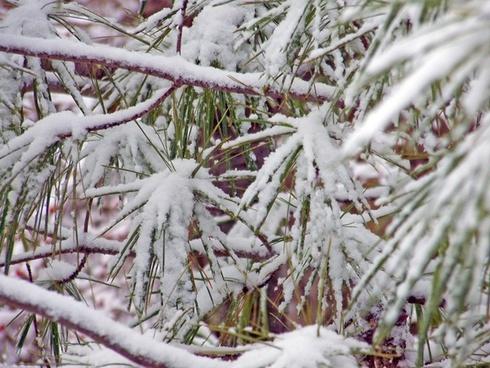 pine tree evergreen