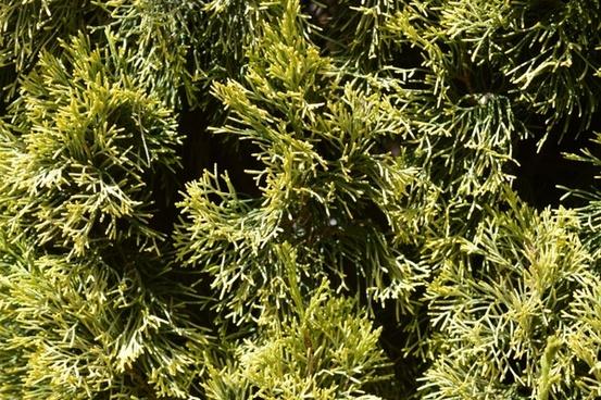 pine tree foliage