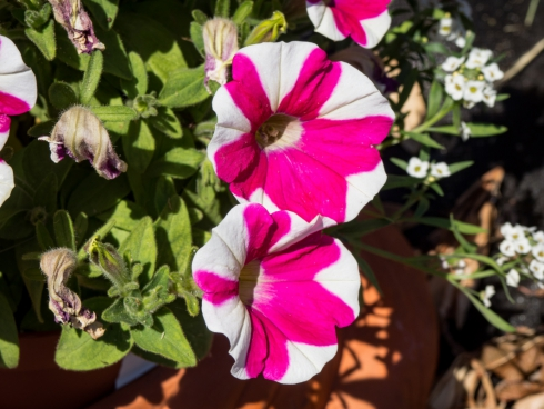 pink and white striped flowers