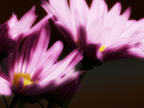pink aster glowing