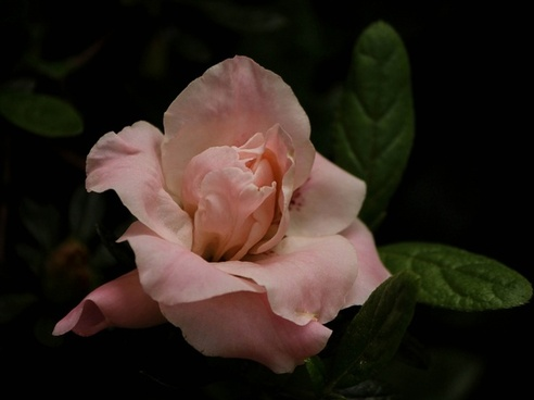pink azalea flower bud blossom