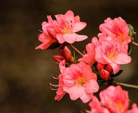 pink azaleas rhododendron kurume azalea coral bells