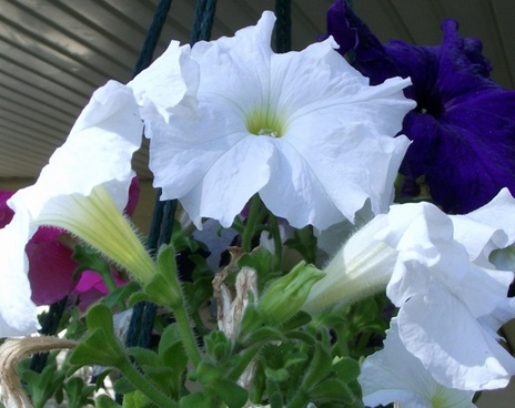 pink blue white flowers