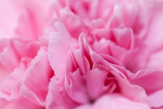pink carnation detail