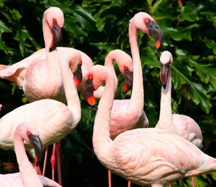 pink flamingos water birds fowl