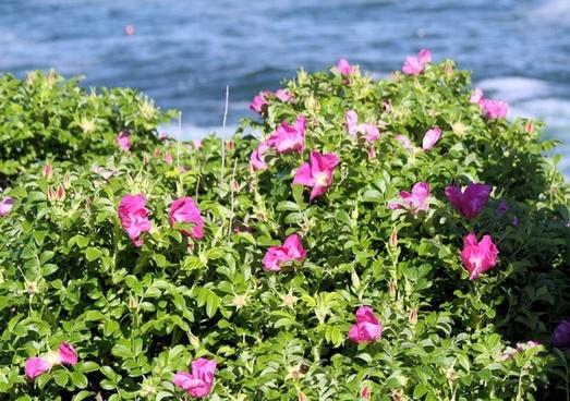 pink flower bush and ocean