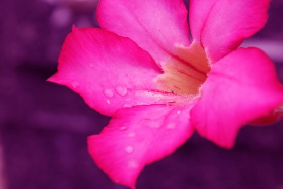 pink flower with raindrops 2