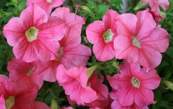 pink flowers petunias hybrids