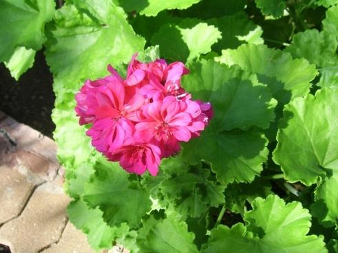 pink geranium