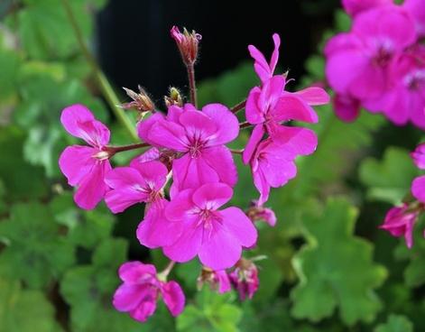 pink geranium flowers plant
