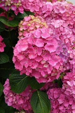 pink hydrangea blooms with foliage