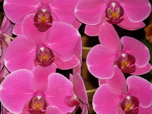 pink phalaenopsis orchid pink