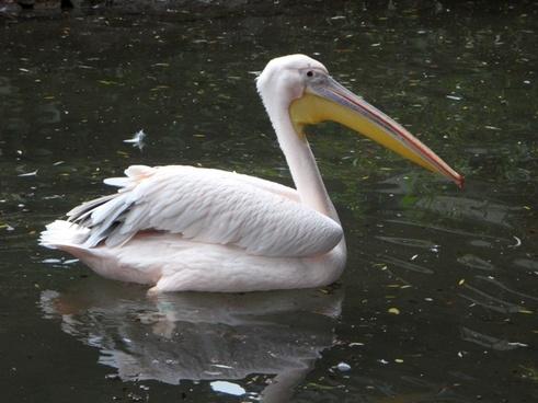 pink pink pelican pelikan
