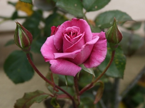 pink rose and two buds