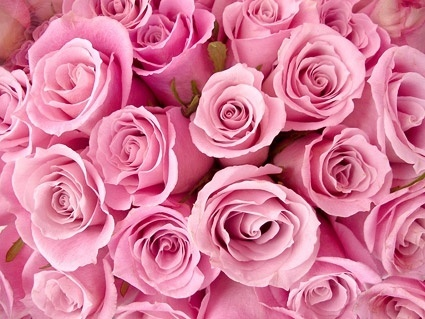 pink rose background picture