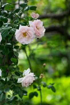 pink rose matsudo chiba japan