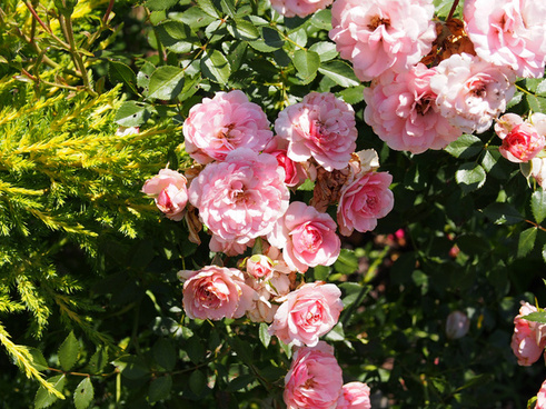 pink rose shrub the fairy