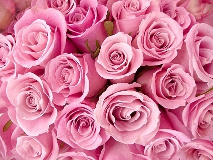 pink roses background picture