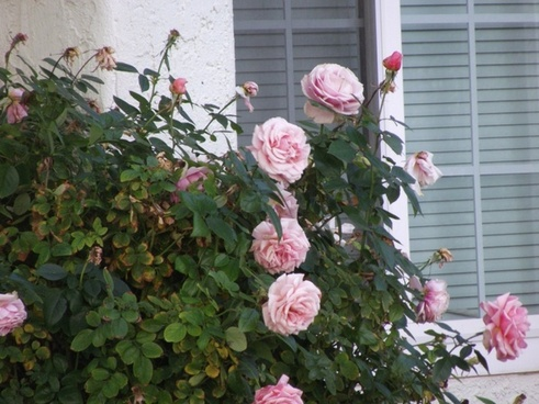 pink roses on bush