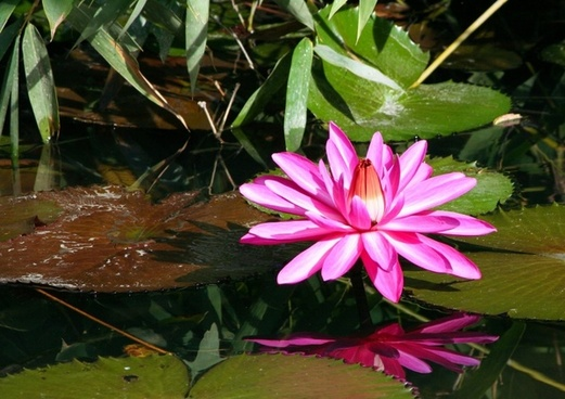 pink water lily aquatic plant flower