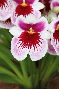 pink white orchid