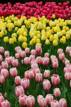 pink yellow and red tulips