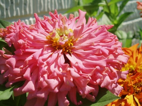 pink zinnia close up