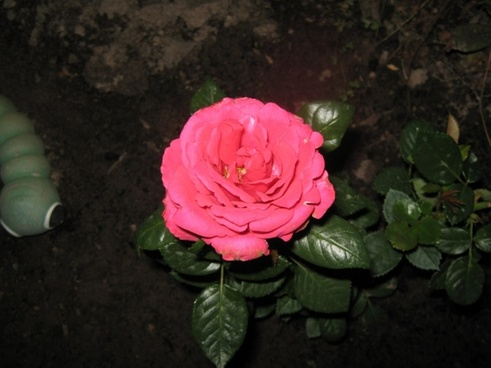 pinkish rose