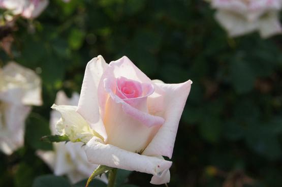 pinkish white rose