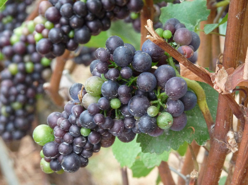 pinot noir grapes in the willamette valley