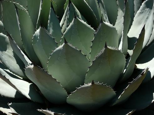 pita century plant agave