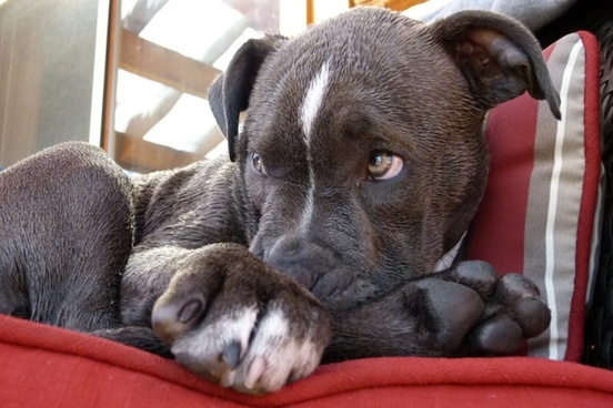 pitbull puppy watching