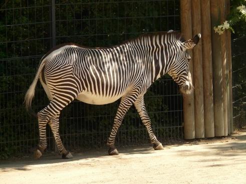 plains zebra zebra perissodactyla