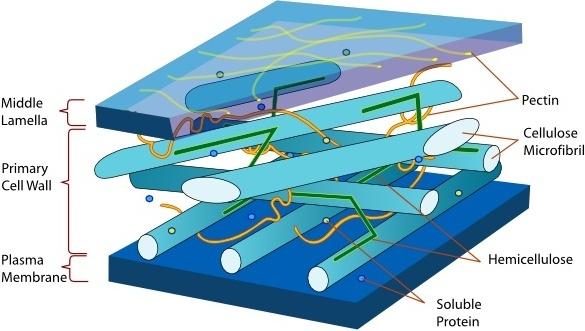 Plant Cell Wall Diagram En clip art