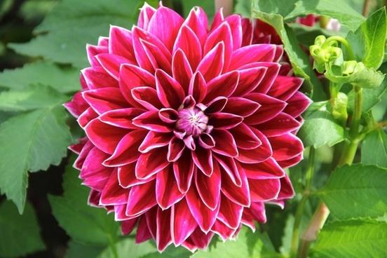 plant flower dahlia