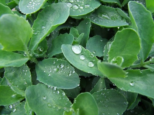 plant stonecrop drip