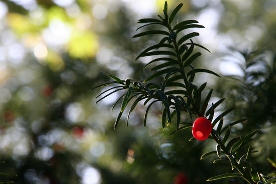 plant yew fruit